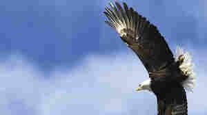 In Aerial Combat Over Lake Michigan, Eagles: 1; Drones: 0