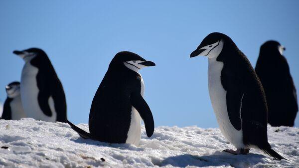 Barbijo penguins gather on South Shetland Islands, Antarctica, in 2019. But that
