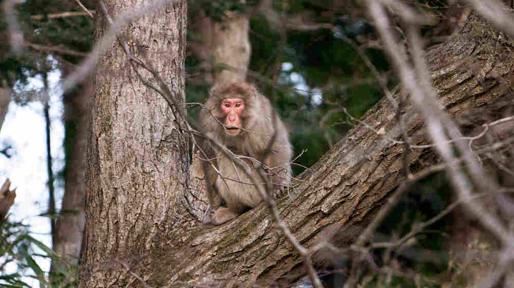 In Rural Fukushima, 'The Border Between Monkeys And Humans Has Blurred'