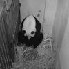 Smithsonian National Zoo's Giant Panda Gives Birth