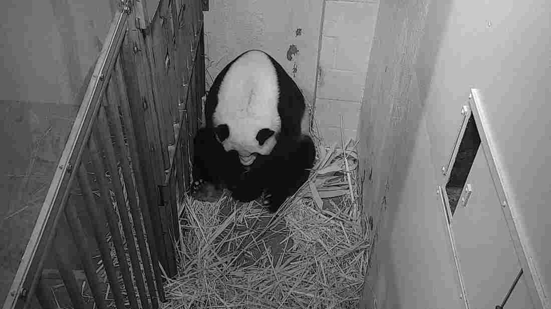 Panda at Smithsonian Zoo gives birth to healthy cub