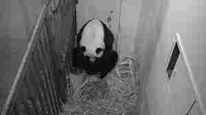 Smithsonian National Zoo's Giant Panda Gives Birth