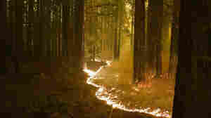 Wildfires Hit California's Redwoods And Condors, But There's Still Hope