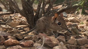 Tiny Elephant Shrew Resurfaces After More Than 50 Years On Lost Species List