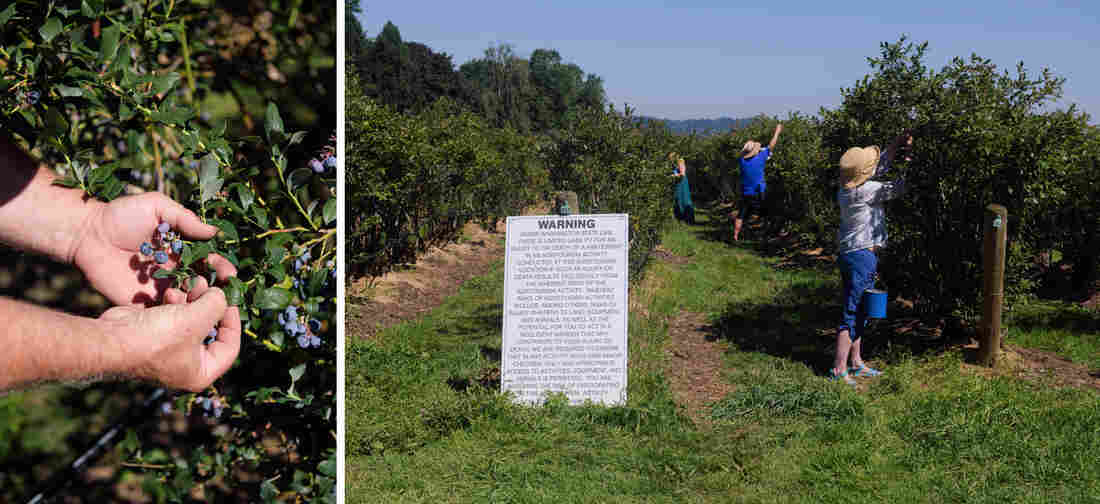 Photographer Chona Kasinger visited a blueberry-picking farm in the Snohomish river valley outside of Seattle.