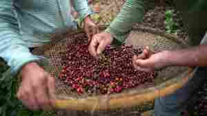 Coffee Keeps Its Mojo: Producers Overcome Pandemic Obstacles
