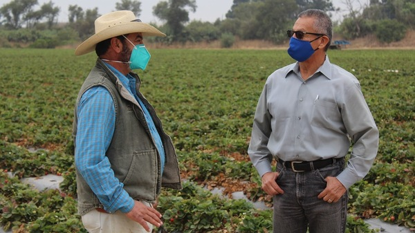 Jesús Ahumada (left) oversees farm workers picking strawberries. He talks with Henry Gonzales, the Monterey County agricultural commissioner who secured more than 330,000 masks for farm workers there.