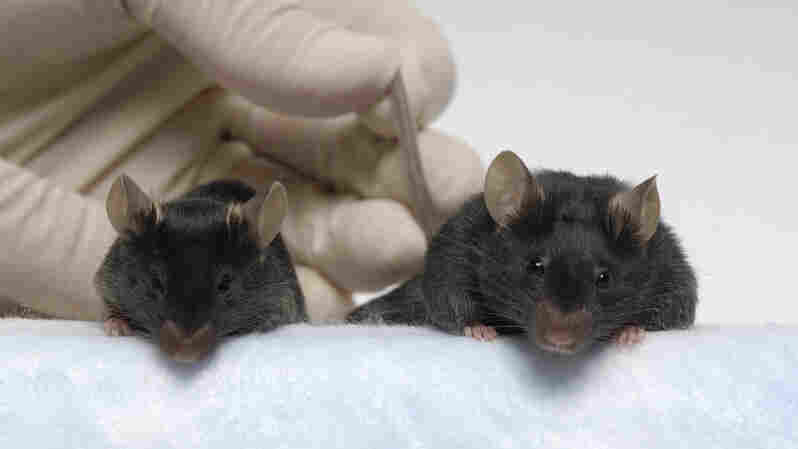 Jackson Lab-Engineered 'Mighty Mice' Retain Muscle Mass In Space, Study Finds