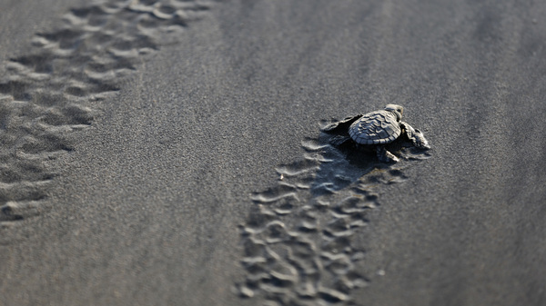 A baby turtle is released into the ocean in Bali, Indonesia, Tuesday, June 9, 2020, part of a  campaign to save the endangered Lekang sea turtles. (AP Photo/Firdia Lisnawati)