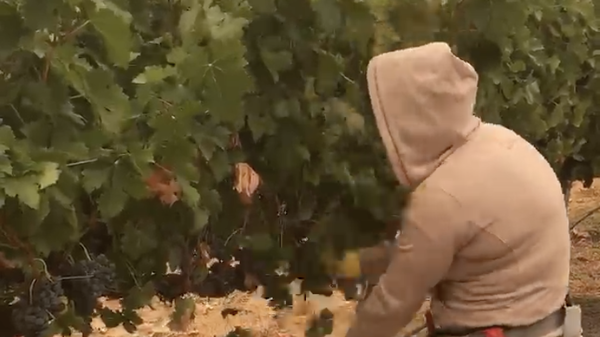 Maricela, shown here picking grapes in southern Oregon this week, says she can