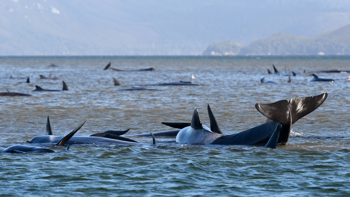 In Tasmania, A Mission To Rescue 270 Stranded Whales