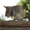 英雄老鼠因发现地雷而获得最佳动物奖