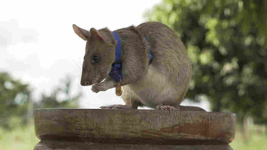 Hero Rat Wins A Top Animal Award For Sniffing Out Land Mines