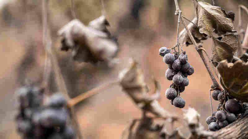 'Unprecedented' Wildfire Season Threatens California's Wine Region