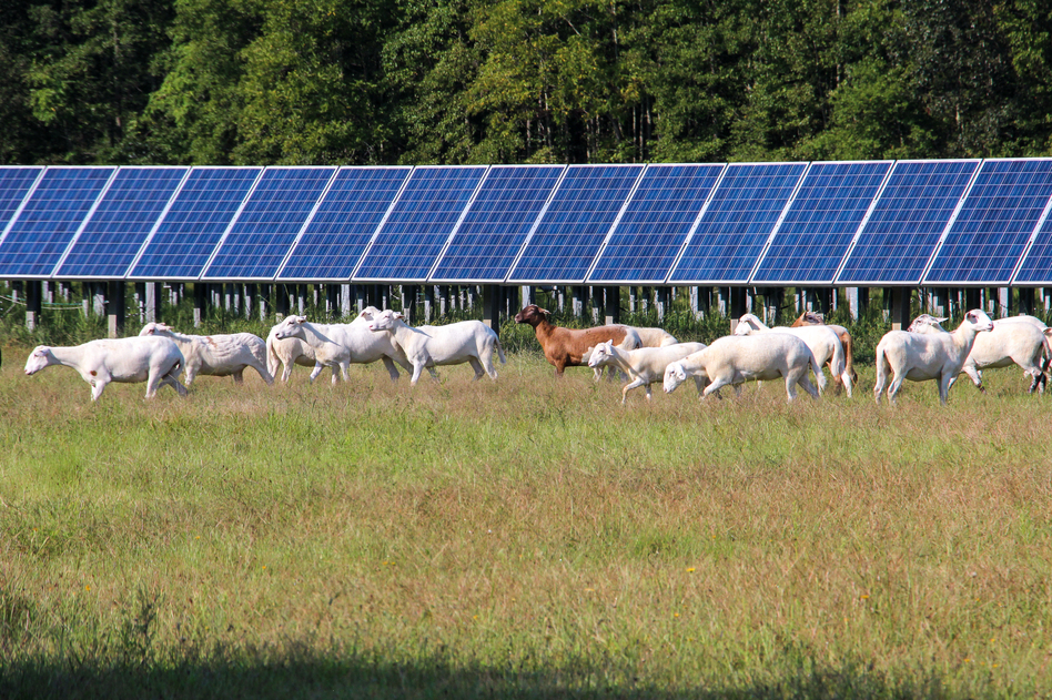 Several solar companies have allowed sheep to graze. Others are inviting farmers to grow vegetables under their solar panels.