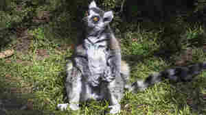Lemur Missing, Possibly Stolen, From San Francisco Zoo