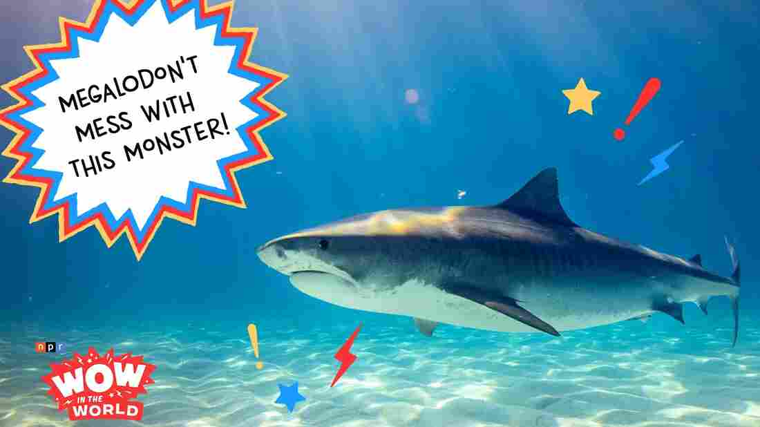 When you think of the most ferocious and terrifying predators to roam the seven seas, you might think of the fearsome, 10ft, 2 ton, Great White Shark! But that big fish ain't nothing compared to the sharks that used to swim around the Pacific 20 million year ago!