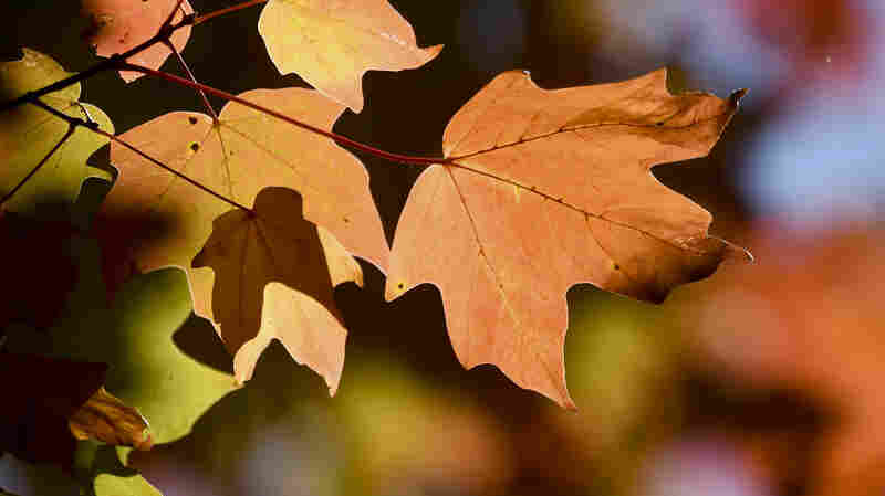 Micro Wave: Why Do Leaves Change Color During Fall?