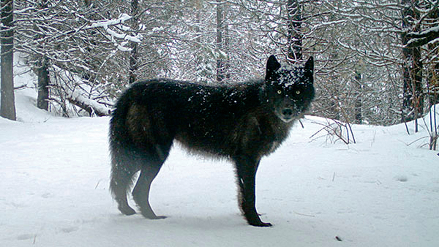 Gray Wolves To Lose Endangered Species Protections – NPR
