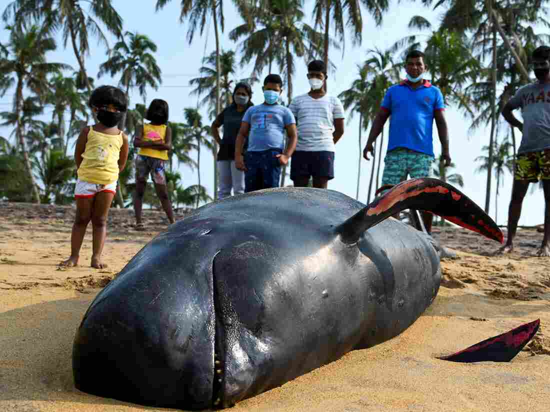 Sri Lankan navy, villagers rescue more than 100 stranded whales