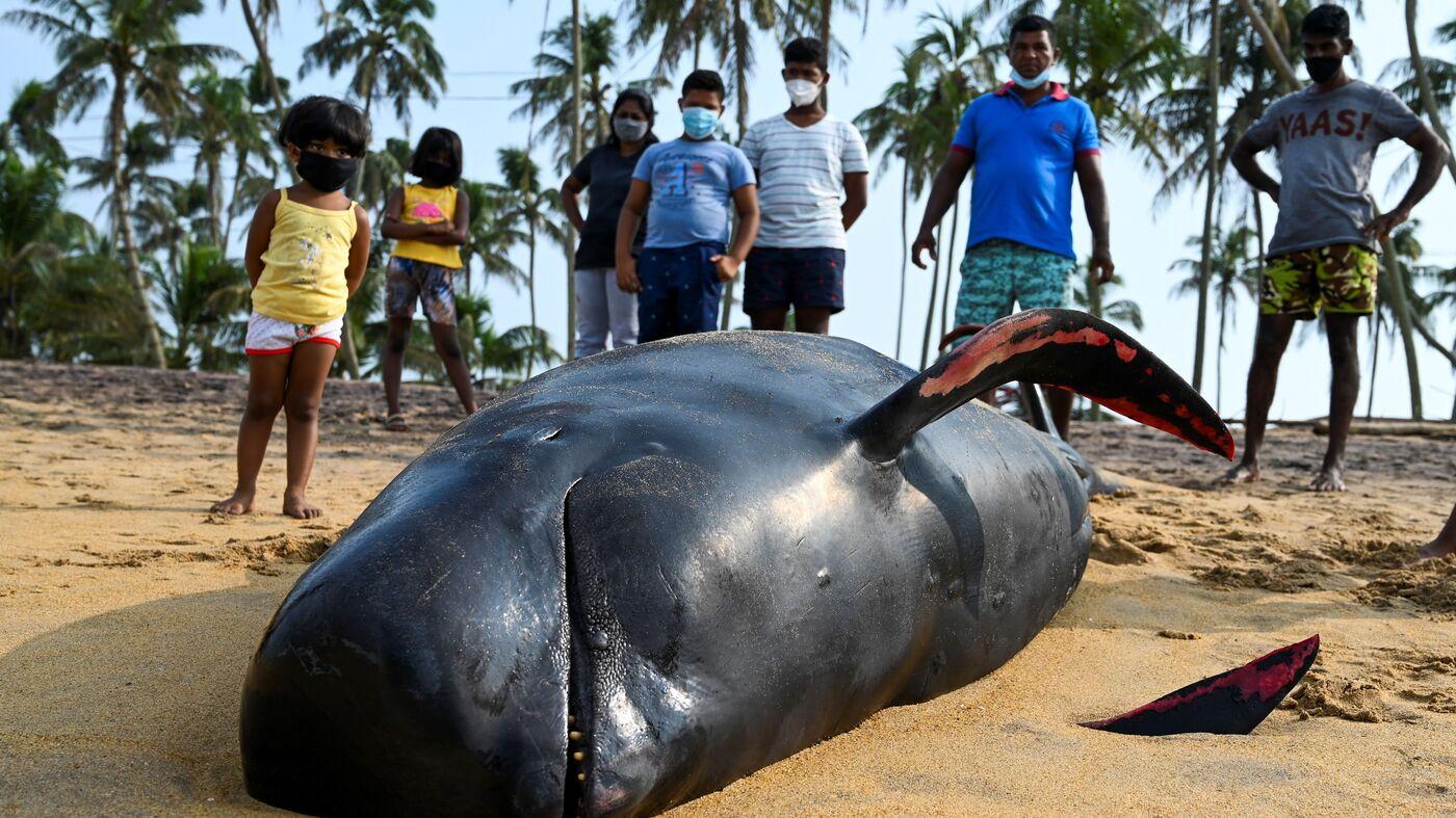 Sri Lanka Navy Villagers Save Beached Whales – NPR