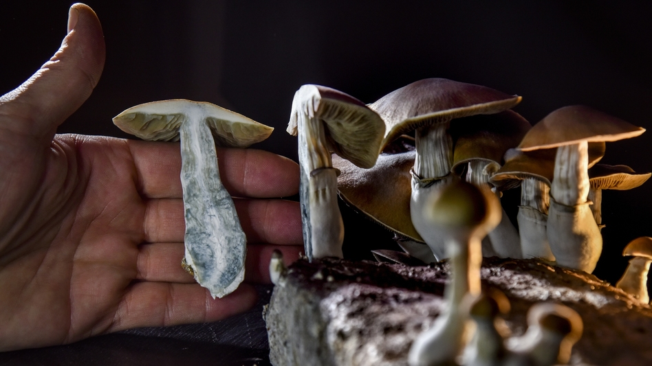 """A Washington, D.C., resident has an operation growing psilocybin mushrooms. With the legalization of marijuana, advocates in several states, including Oregon, have pushed for the legalization of other drugs such as """"magic mushrooms."""" (Jahi Chikwendiu/The Washington Post via Getty Images)"""