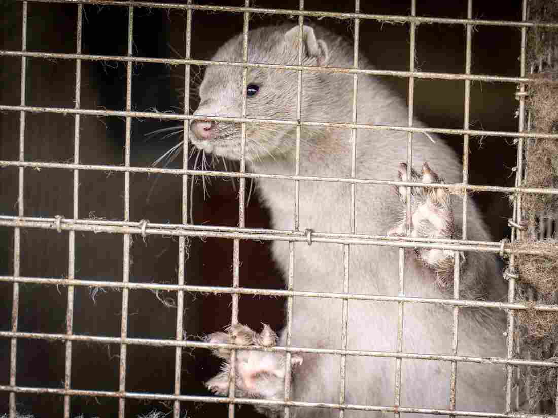 Denmark: COVID Mutation Has Spread From Minks to Humans""