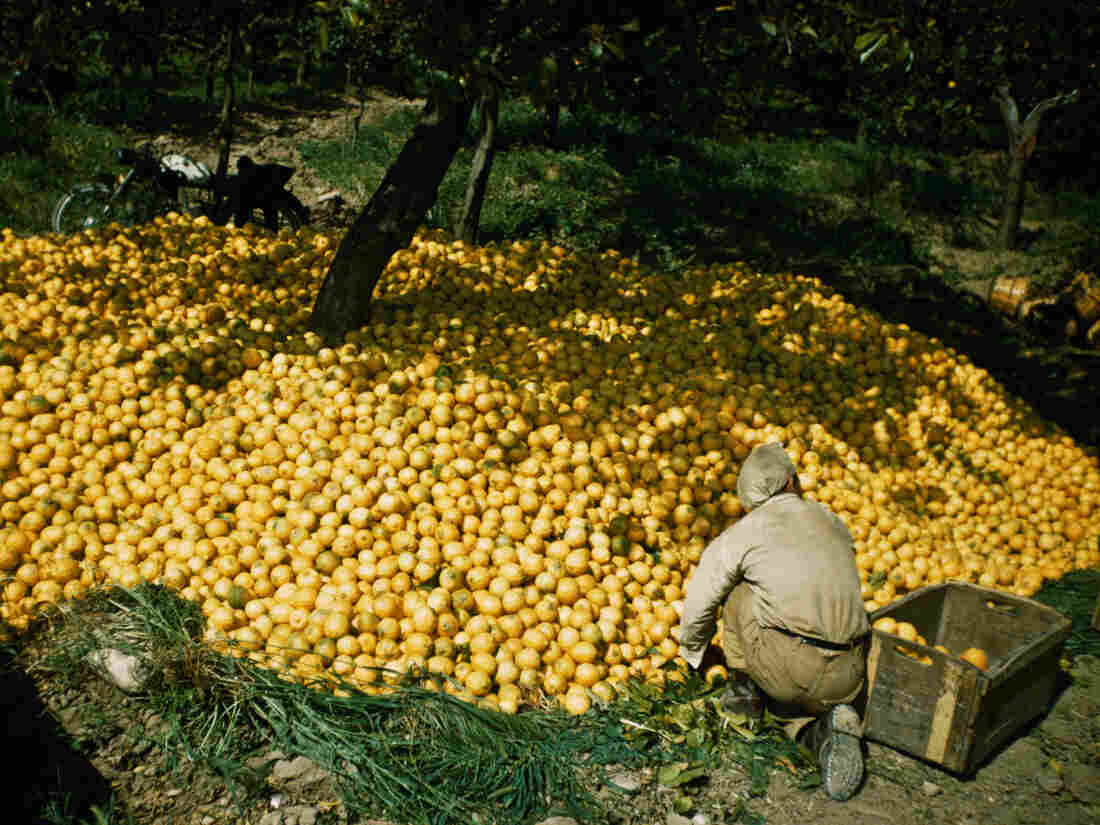 The lemon harvest in Sicily, circa 1970. (Photo by Garry Hogg/Getty Images)