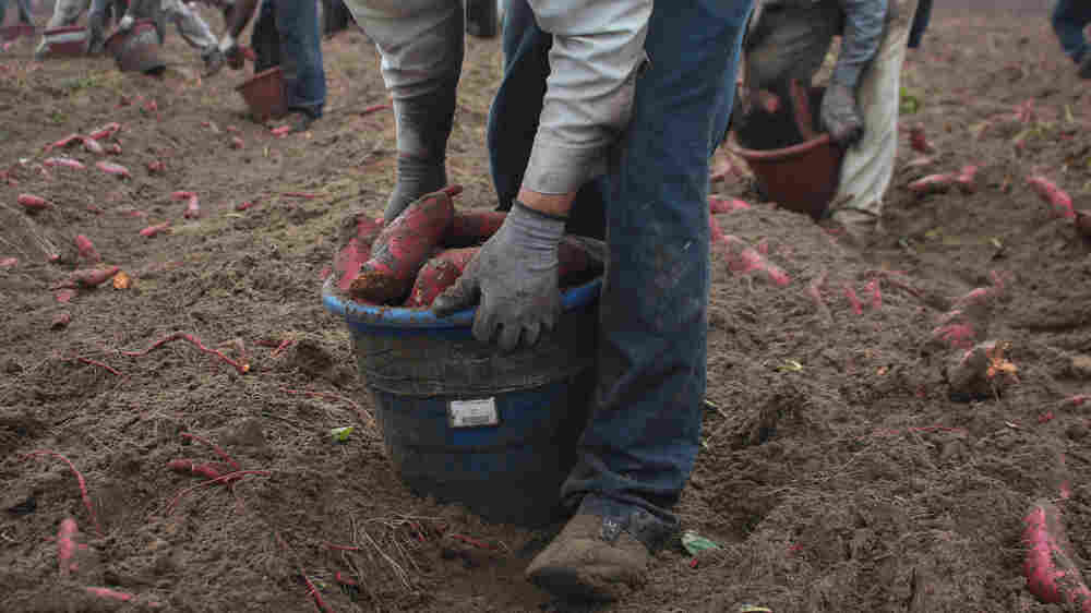 Farmworkers Say The Government Is Trying To Cut Their Wages