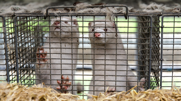Minks are seen here last week at an estate in Denmark, where the government has ordered the culling of all minks due to an outbreak of the novel coronavirus in the animals. The virus has now been found in minks in Greece as well.