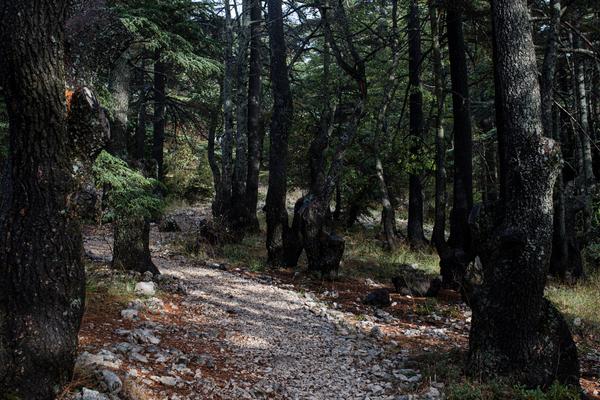 Cedar trees in the Tannourine Cedars Forest Nature Reserve, in Tannourine.