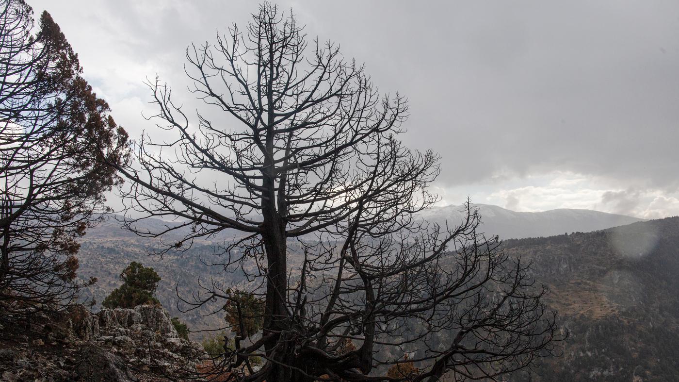 Climate Change Threatens Lebanon's Storied Ancient Cedars – NPR