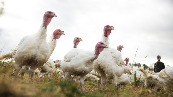 Broad Breasted White turkeys roam their open-air enclosure on the Shenk Family Farm in Newport, N.C. Smaller turkeys are in demand this Thanksgiving as many families plan on staying home rather than attending large gatherings.