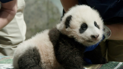 The National Zoo's Panda Cub Has A Name: 'Little Miracle'