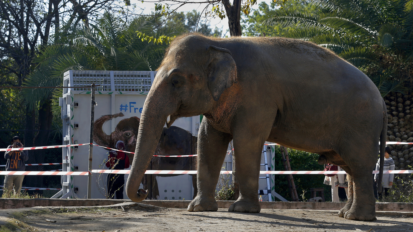 Cher Helps Rescue Kaavan 'World's Loneliest Elephant' – NPR