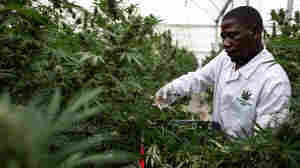 U.N. Commission Removes Cannabis From Its Most Strict Drug Control List