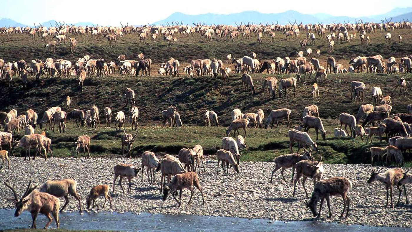 Trump Sets Up Sale Of Oil Drilling Rights In Arctic Wildlife Refuge – NPR