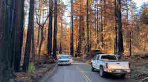 California's Ancient Redwoods Face New Challenge From Wildfires And Warming Climate