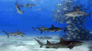 One Key To Healthy Oceans? Sharks