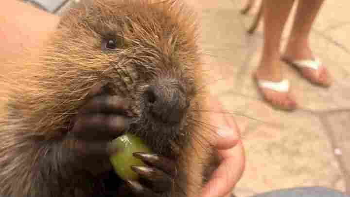 Meet Beave, The Internet's Most Famous Beaver