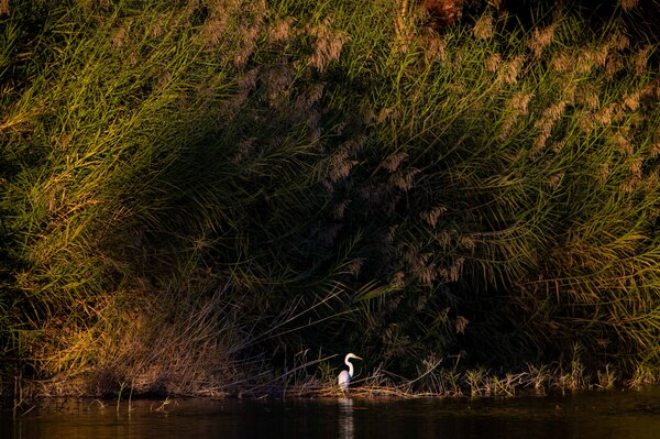 Showing off the freshwater oasis side of San Ignacio, a great egret fishes in the late afternoon light. The abundance of freshwater found here in the middle of the Sonoran desert makes for an incredibly diverse area for birding.