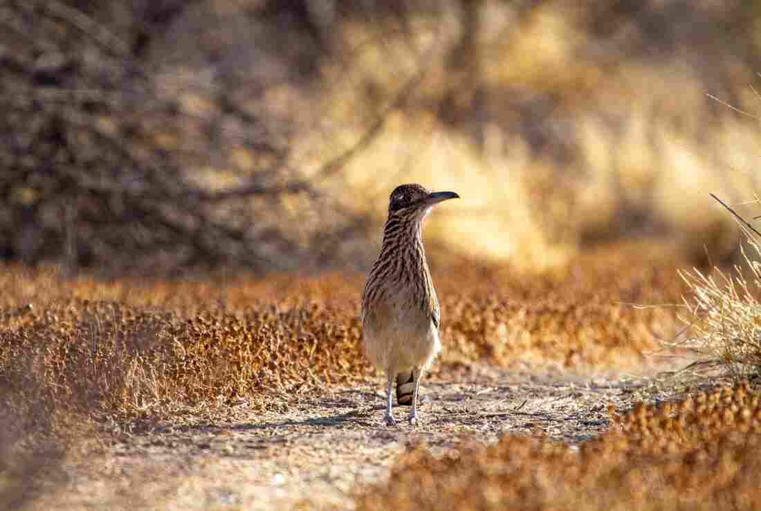A greater roadrunner keeps its eye on us as it moves down a boot path on our land. Capable of outrunning a human and killing a rattlesnake, these desert birds have enchanted me for much of my life.