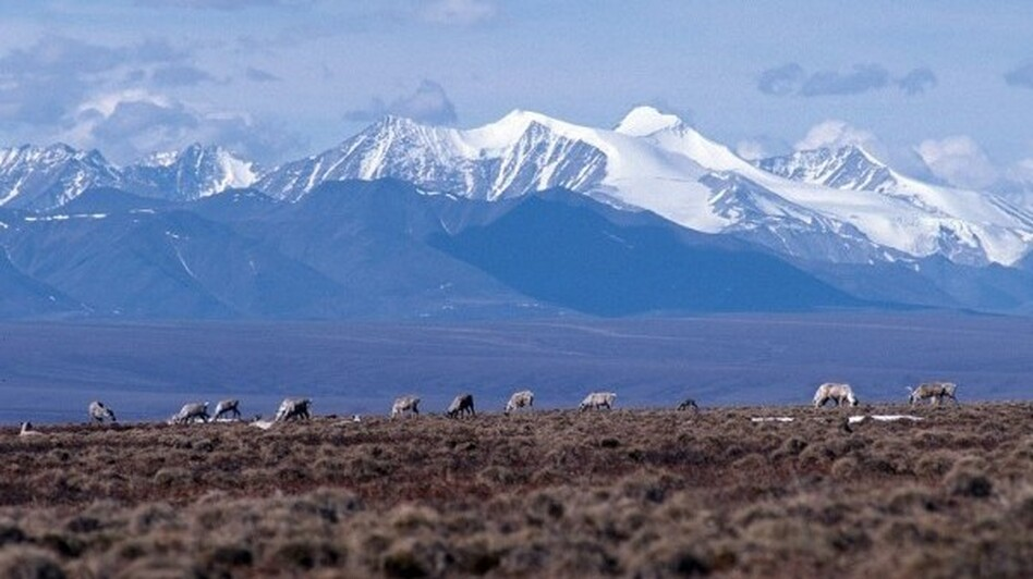 Caribou graze on the coastal plain of the Arctic National Wildlife Refuge. The Trump administration has held the first oil lease sale in the refuge. (U.S. Fish and Wildlife Service)