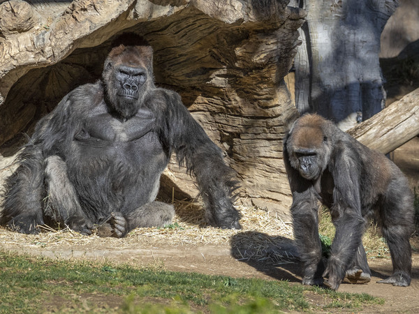 Two gorillas at the San Diego Zoo Safari Park (but not necessarily these two) tested positive for the coronavirus on Monday. A zoo statement says the apes have mild symptoms but are doing well.