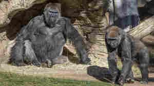 2 Gorillas In California Contract The Coronavirus