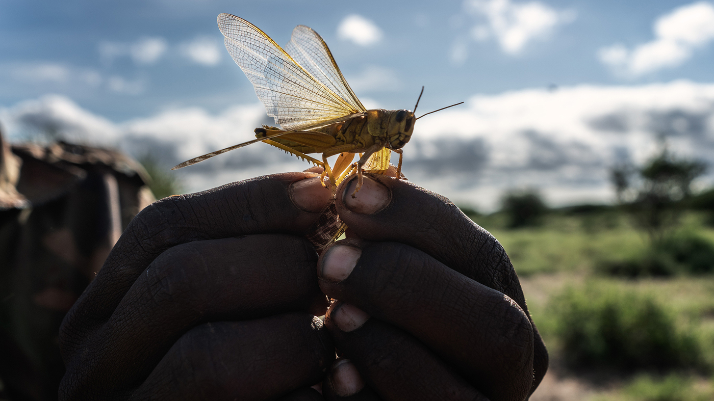 Locust Swarms Threaten Parts Of East Africa – NPR