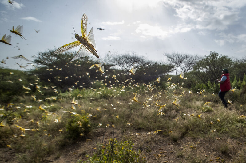Locust Swarms Are Destroying Crops and Vegetation in Ethiopia, Somalia, and Kenya