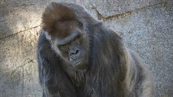 One of the eight gorillas in the troop at the San Diego Zoo Safari Park in California. Some of the gorillas contracted the coronavirus earlier this month. One of the older gorillas received monoclonal antibody therapy as part of his treatment.