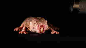 Friend Or Foe? Naked Mole Rats Can Tell By A Unique Squeak