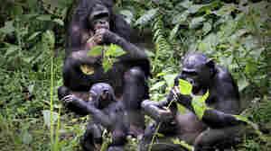 How Bonobos Help Explain The Evolution Of Nice